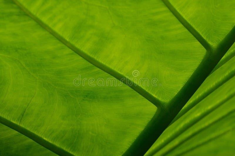 Slut upp av bladet för växt för elefantöra arkivfoto