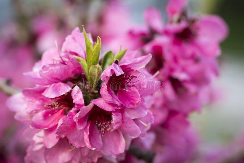 Slut upp av blommande persikarosa färgblommor royaltyfri fotografi