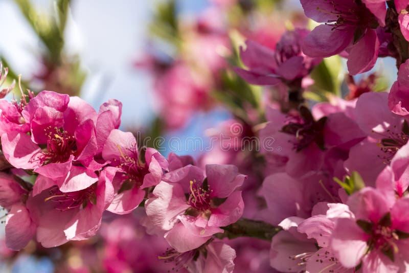 Slut upp av blommande persikarosa färgblommor arkivbild