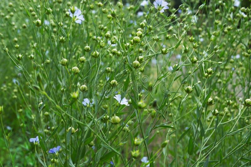 Slut upp av blomninglinväxter arkivfoton