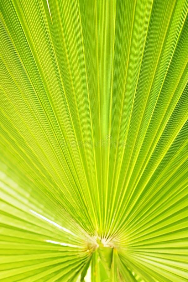Slut upp av den avrivna sockerpalmbladet av grön färg för limefrukt med den synliga texturstrukturen Anti-föroreningbegrepp fotografering för bildbyråer