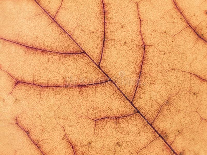 Slut upp av den färgrika lönnlövet torr leaf för bakgrund Gulingen lämnar för att mönstra höstbakgrundscloseupen colors orange re arkivbilder