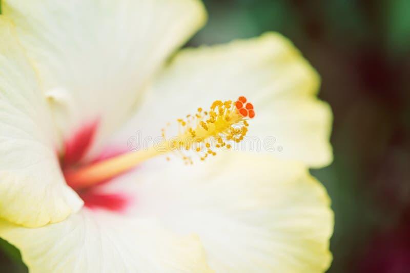 Slut upp av den gula hibiskusen royaltyfria foton