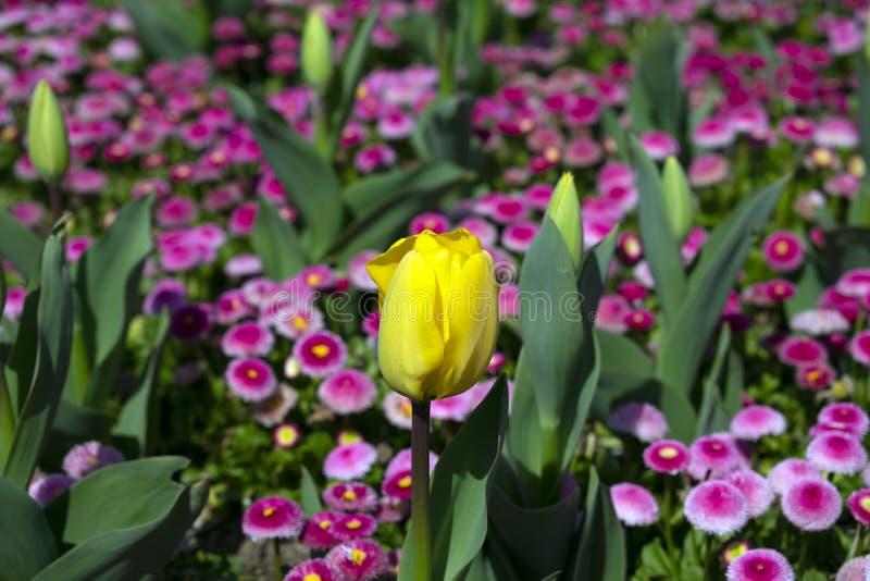 Slut upp av den gula tulpanblomman royaltyfri bild