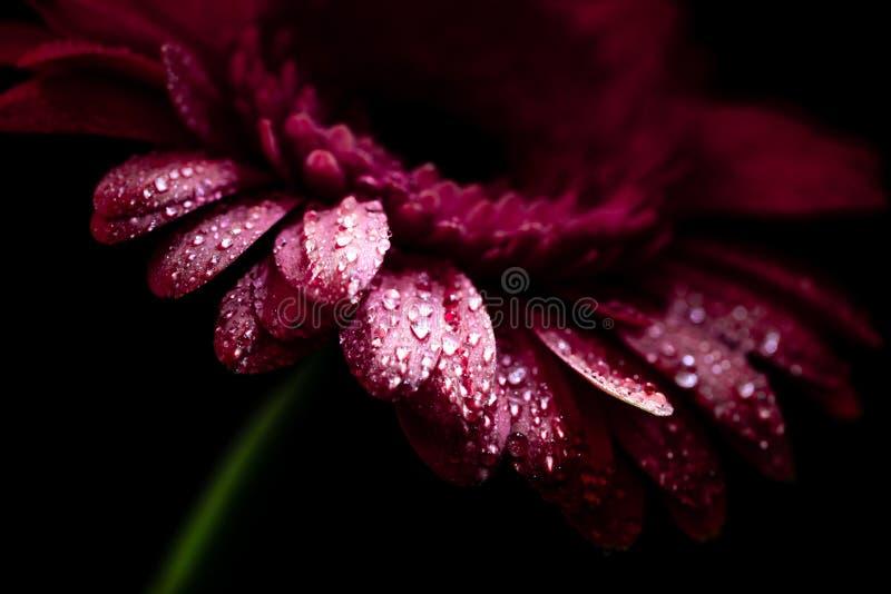 slut upp av den härliga gerberablomman med våta rosa kronblad, fotografering för bildbyråer