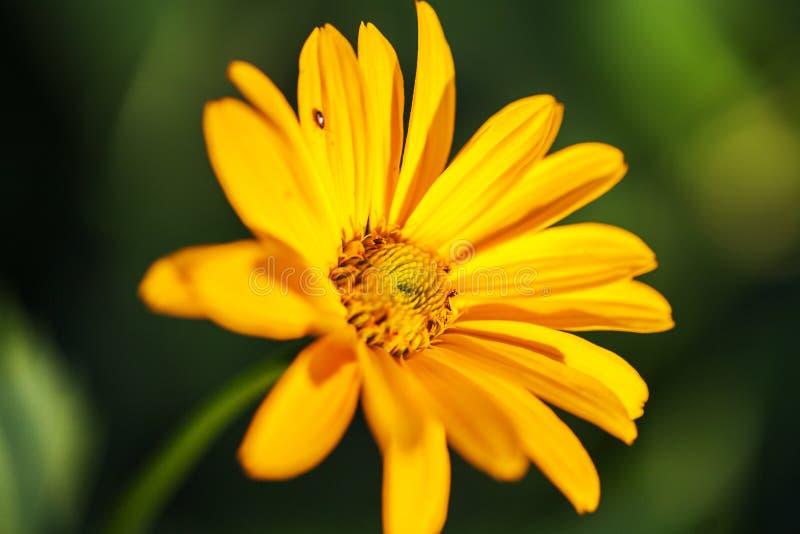 Slut upp av den härliga gula gerberablomman på bakgrundsgräsplanträdgård royaltyfri foto