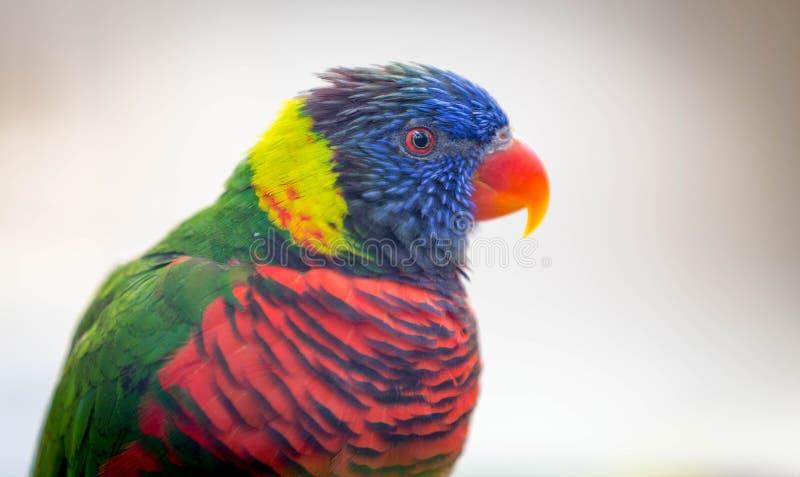Slut upp av den härliga lorikeetfågeln för A fotografering för bildbyråer