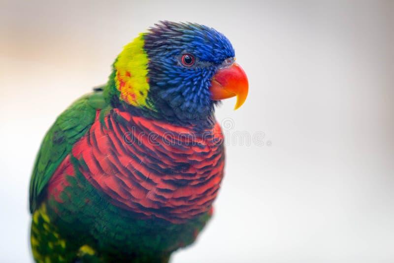 Slut upp av den härliga lorikeetfågeln för A royaltyfri foto