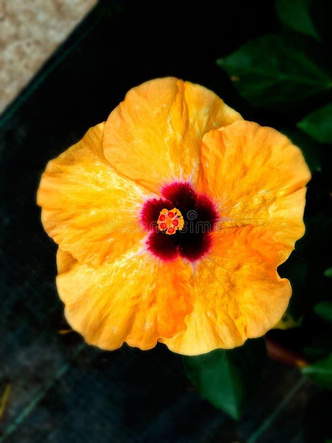 Slut upp av den hawaianska hibiskusen Blomma-Indien arkivfoton