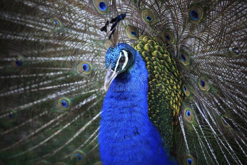 Slut upp av den indiska påfågeln royaltyfri fotografi