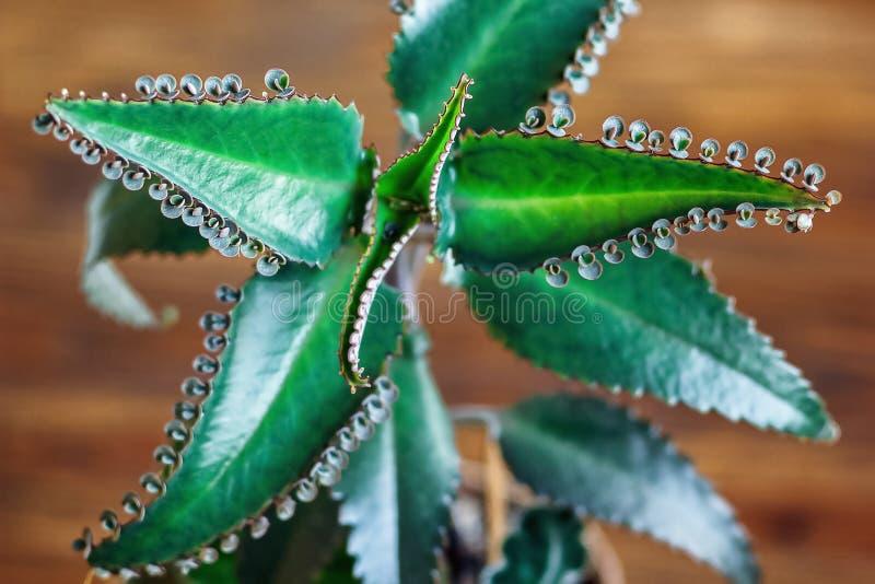 Slut upp av den Kalanchoe pinnataväxten Bryophyllum daigremontianum som kallas också moder av tusentals, alligatorväxt arkivfoto
