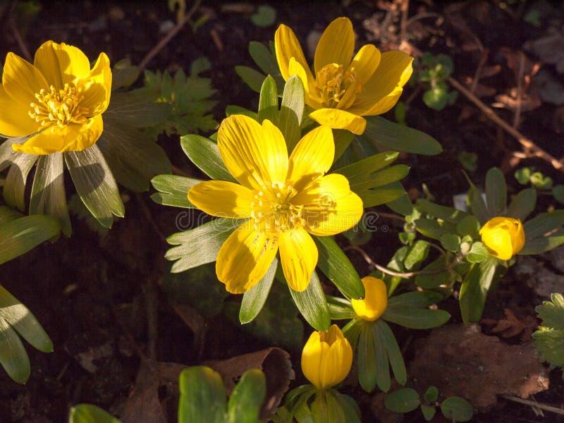 slut upp av den lilla ljusa gula vårblomman på golvet - butterc fotografering för bildbyråer