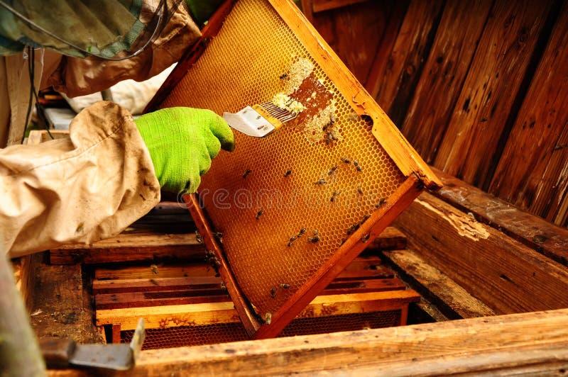 Slut upp av den mänskliga handen för gamal man som drar ut honung från den utomhus- gula honungskakan fotografering för bildbyråer