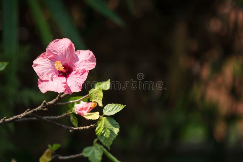 Slut upp av den mjuka rosa hibiskusen rosa-sinensis royaltyfria bilder