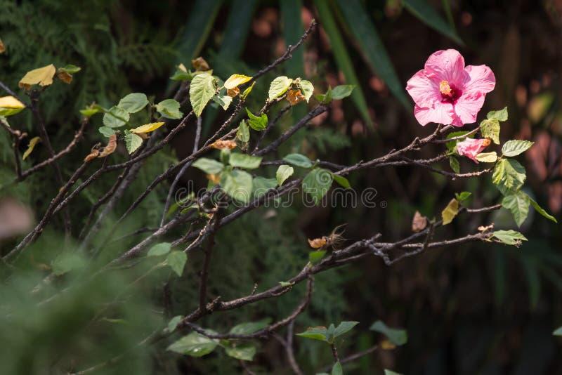 Slut upp av den mjuka rosa hibiskusen rosa-sinensis royaltyfri fotografi