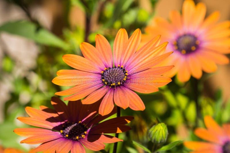 Slut upp av den orange afrikanen Daisy Osteospermum royaltyfri bild