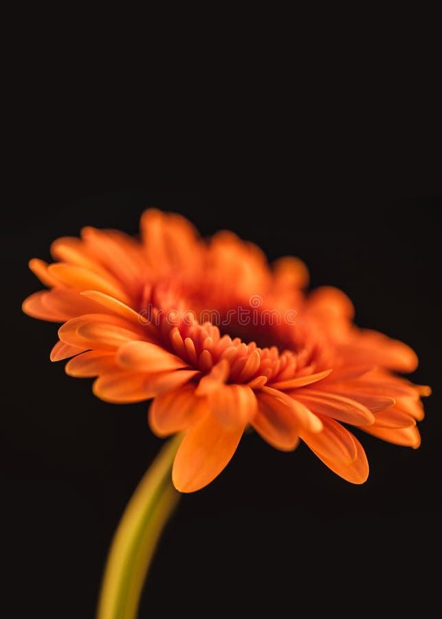 slut upp av den orange blommande gerberablomman, royaltyfri foto
