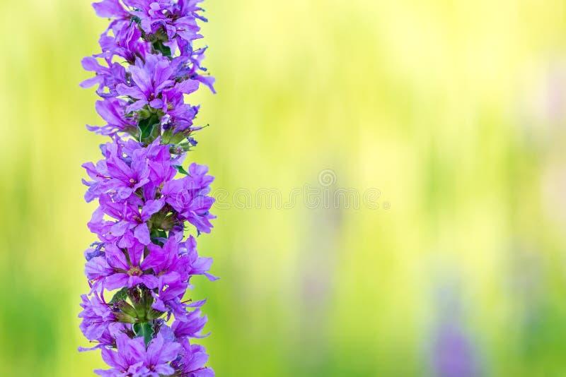 Slut upp av den purpurfärgade Minnesota lösa blomman royaltyfria foton