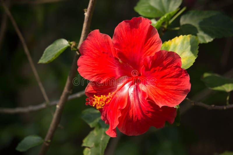 Slut upp av den röda hibiskusblomman med det gröna bladet royaltyfria bilder