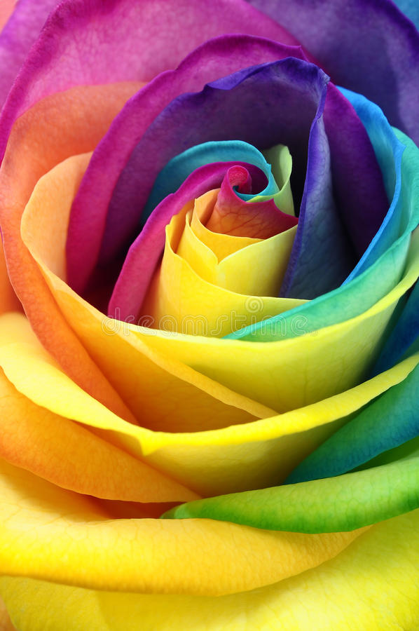 Slut upp av den rosa blomman för regnbåge royaltyfri bild
