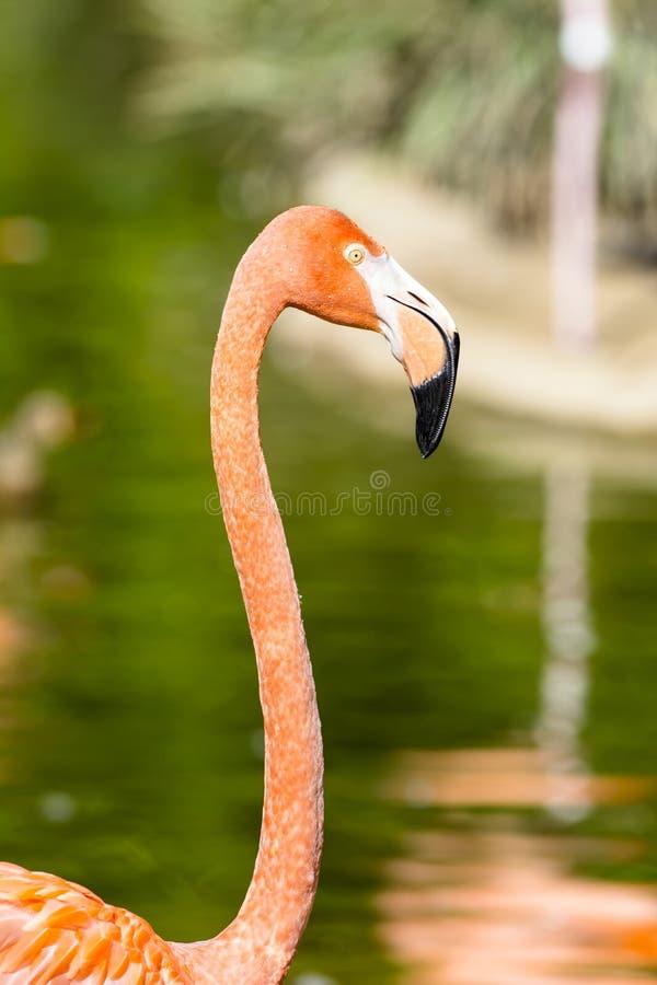 Slut upp av den rosa flamingo royaltyfria foton