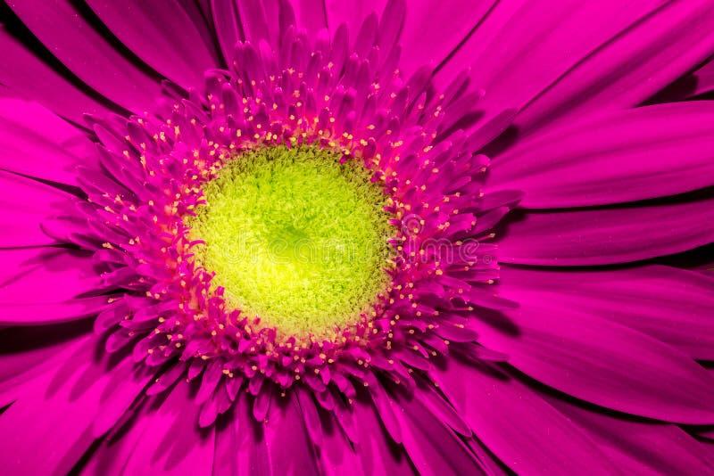 Slut upp av den violetta gerberablomman med den gula mitten och härliga mjuka kronblad royaltyfri foto