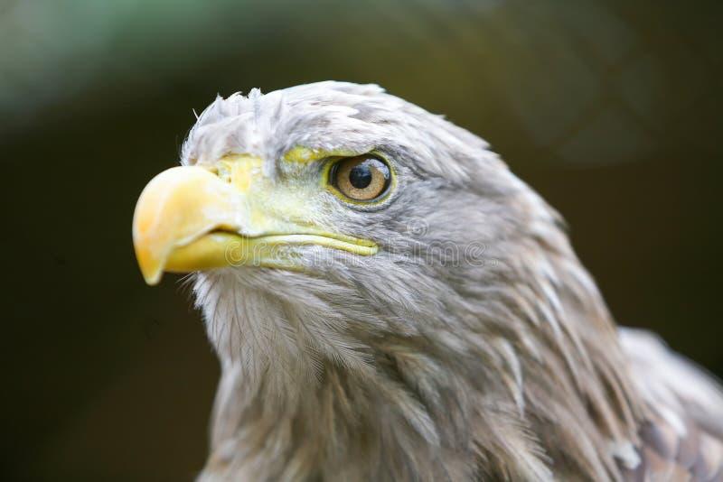 Slut upp av den vit tailed örnen royaltyfri bild