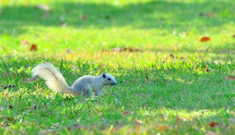 Slut upp av den vita ekorren på grönt gräs royaltyfri fotografi