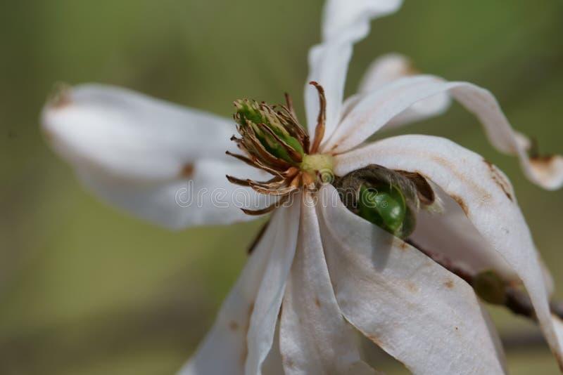 Slut upp av den vita magnoliablomman fotografering för bildbyråer