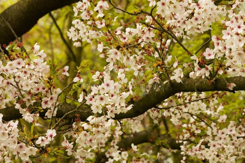 Slut upp av det körsbärsröda trädet för blomning royaltyfria foton