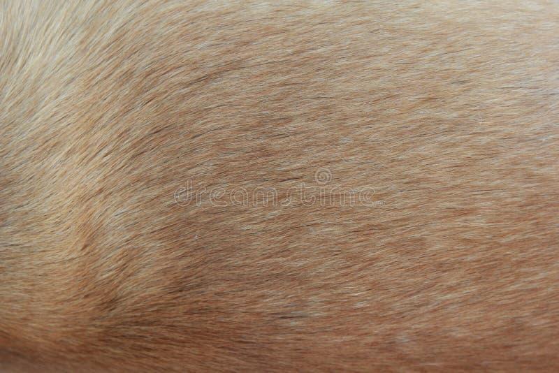 Slut upp av en beige hundpäls arkivbilder