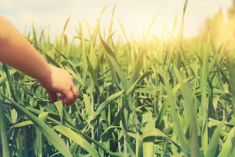 Slut upp av en child& x27; rörande högväxt gräs för s-hand i fält royaltyfri bild