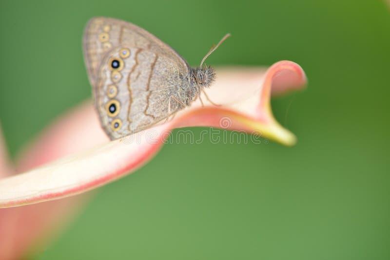 Slut upp av en fjäril på lilly en blomma royaltyfria foton