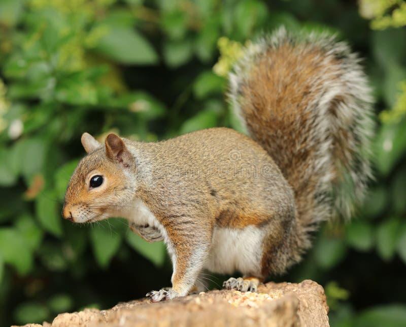 Download Slut Upp Av En Grey Squirrel Arkivfoto - Bild av muttrar, päls: 76700534