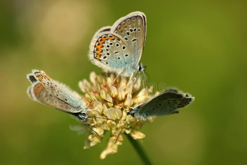 Slut upp av en härlig fjäril arkivbilder
