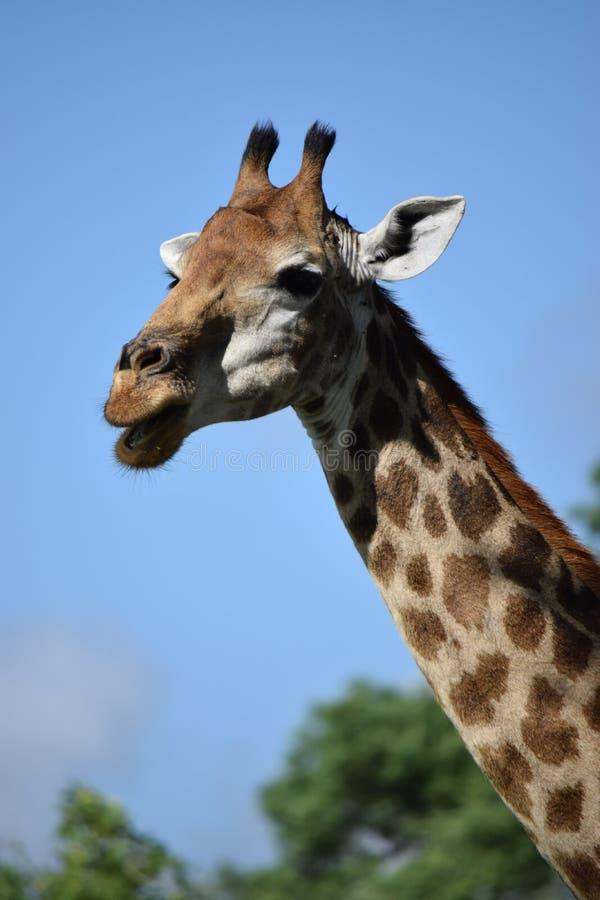 Slut upp av en kvinnlig vuxen giraff royaltyfria foton