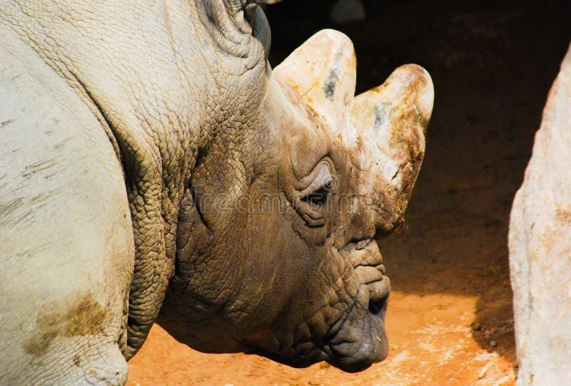 Slut upp av en noshörning arkivfoto