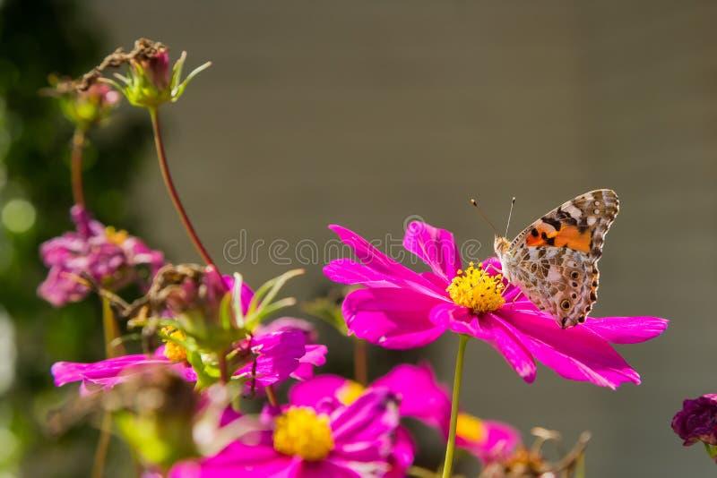 Slut upp av en orange fjäril på en rosa blomma i vår arkivfoto