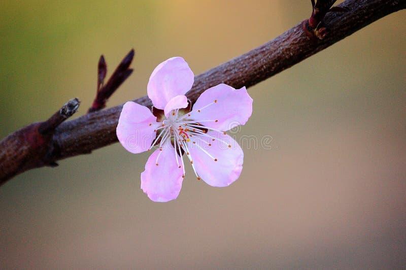 Slut upp av en rosa persikablomma fotografering för bildbyråer