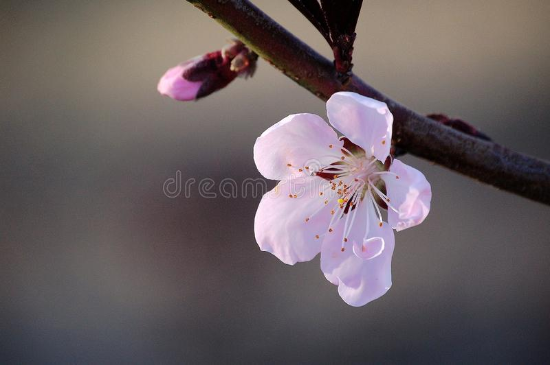 Slut upp av en rosa persikablomma och en knopp royaltyfri bild