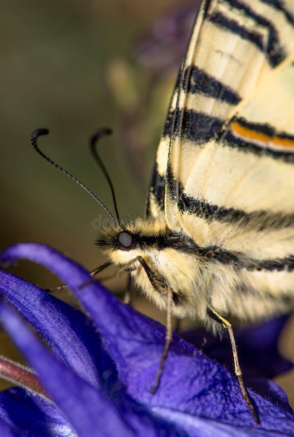Slut upp av en seglaswallowtailfjäril arkivbilder