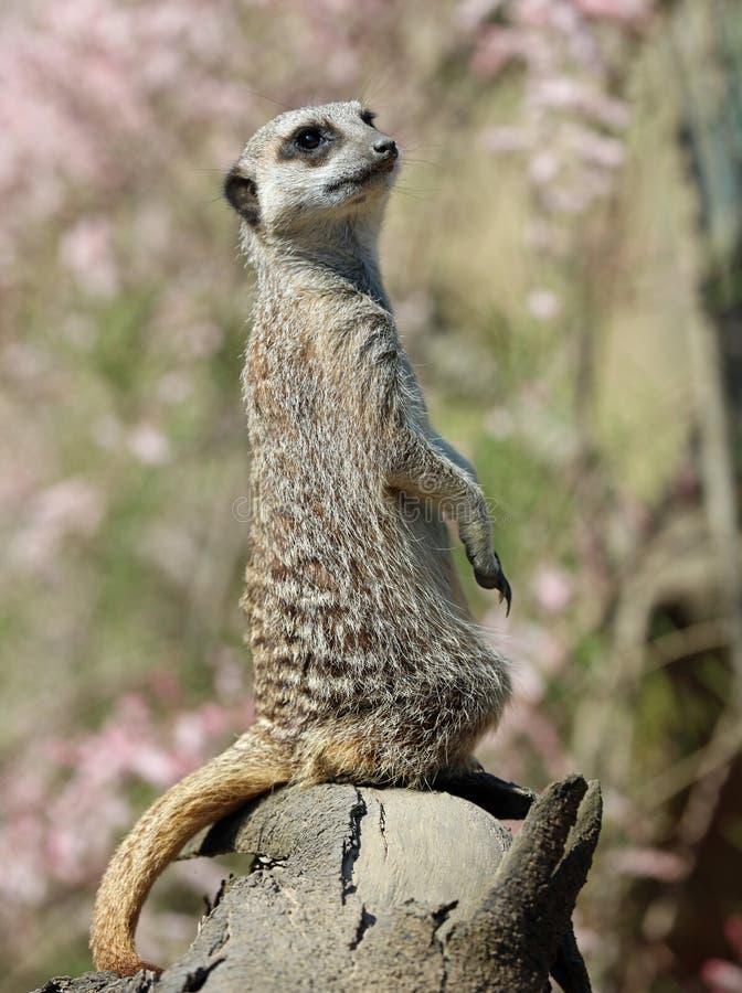 Slut upp av en tjänstgörande Meerkat royaltyfri bild