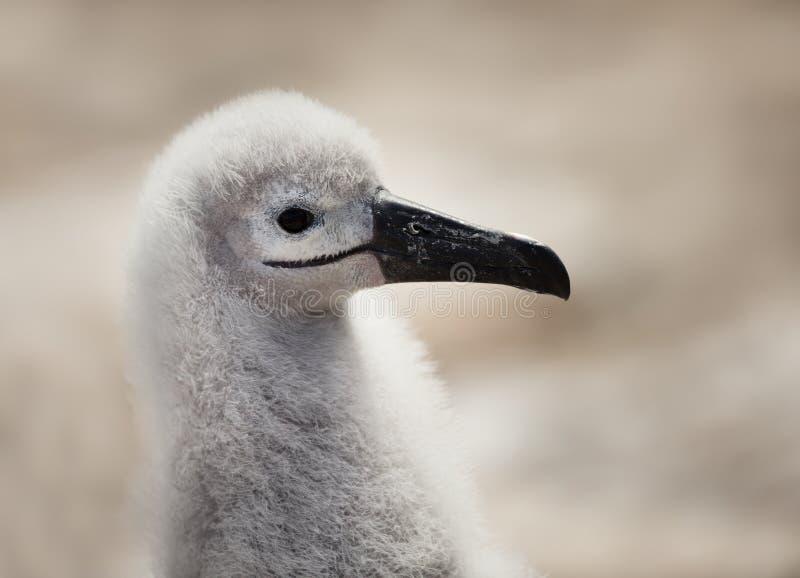 Slut upp av enbrowed albatrossf?gelunge arkivfoto