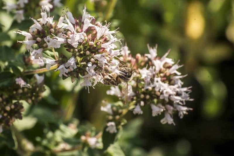 Slut upp av ett honungbi som drar ut nektarformen som blom på en oregano planterar i organisk trädgård arkivbild
