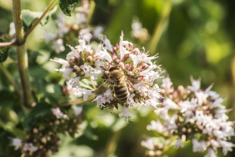 Slut upp av ett honungbi som drar ut nektarformen som blom på en oregano planterar i organisk trädgård arkivfoto