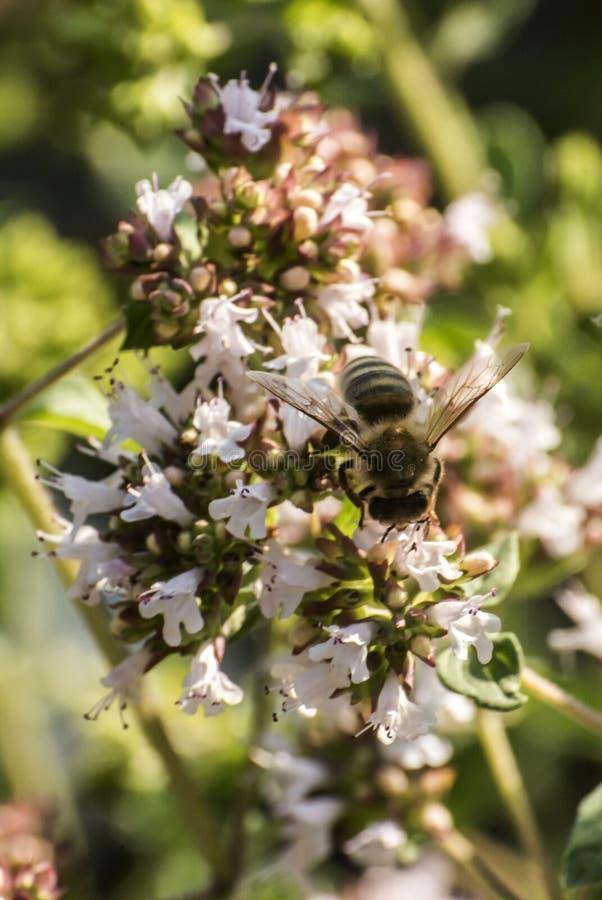 Slut upp av ett honungbi som drar ut nektarformen som blom på en oregano planterar i organisk trädgård royaltyfria foton