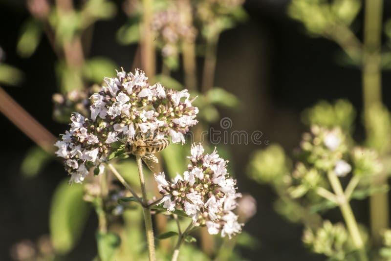 Slut upp av ett honungbi som drar ut nektarformen som blom på en oregano planterar i organisk trädgård arkivbilder