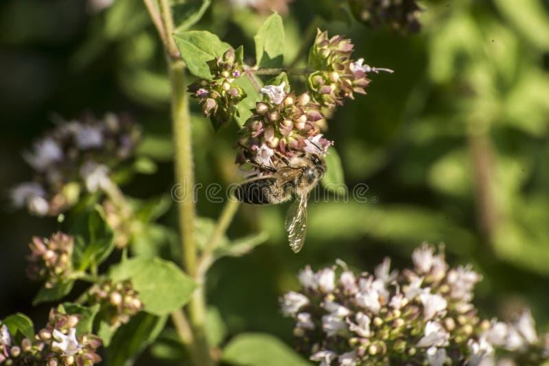 Slut upp av ett honungbi som drar ut nektarformen som blom på en oregano planterar i organisk trädgård royaltyfria bilder