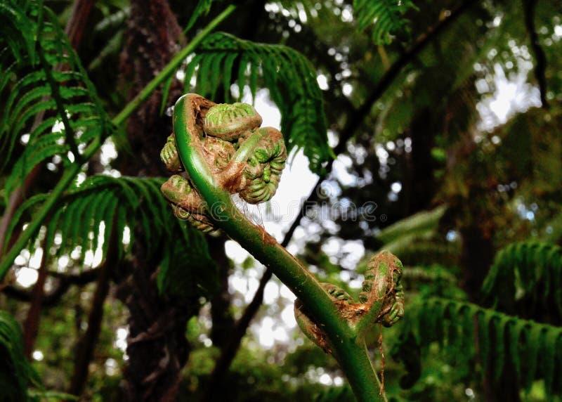 Slut upp av ett huvud för lurendrejeri för trädormbunke med ormbunksblad i backgroun arkivfoton