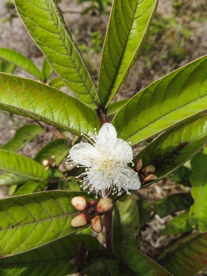 Slut upp av galapagos den vita blomman Ecuador arkivfoto